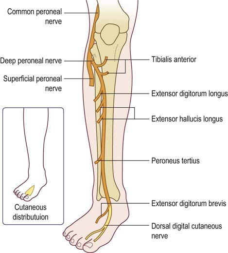 Common Fibular Nervecoursemotor Sensory Innervation How To Relief