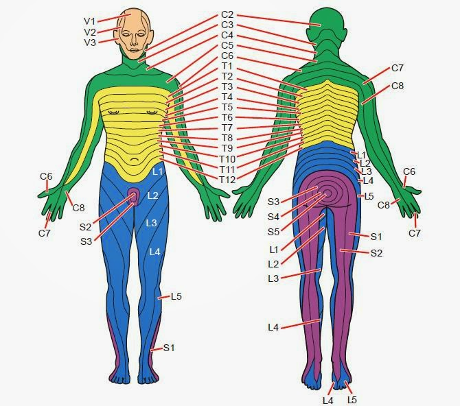 Dermatomes anatomy