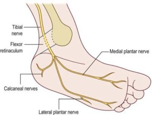 Function of the tibial nerve