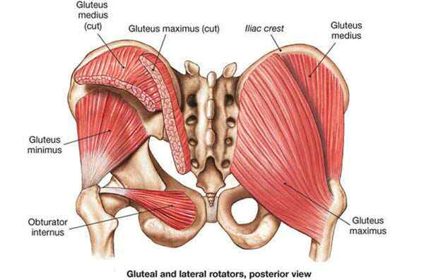 Superficial Muscles of the gluteal region