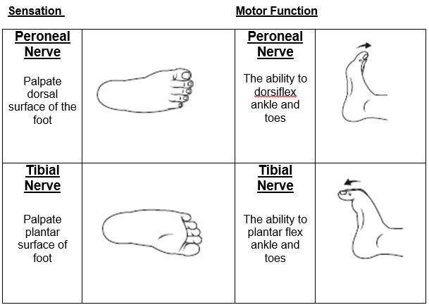 Tibial Nerve motor function