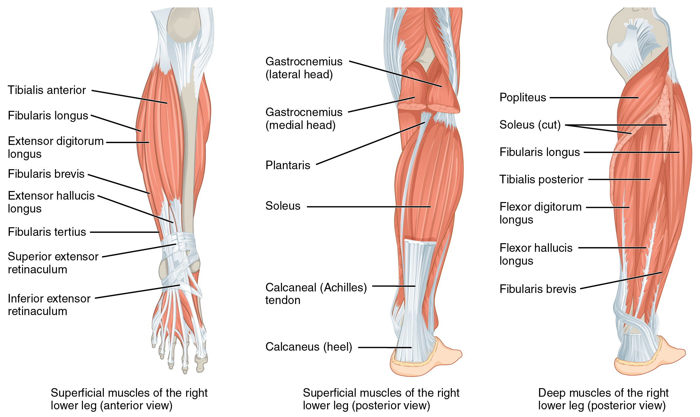 Leg Muscles:Origin, Insertion, Action & Nerve Supply » How To Relief