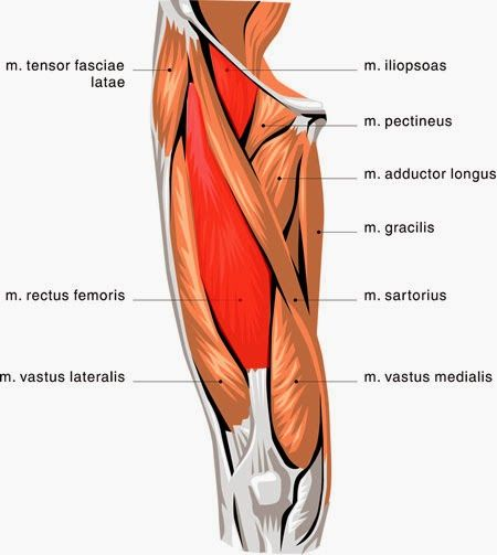 sartorius, pectineus, and quadriceps femoris