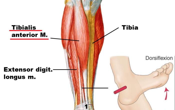 tibialis anterior action