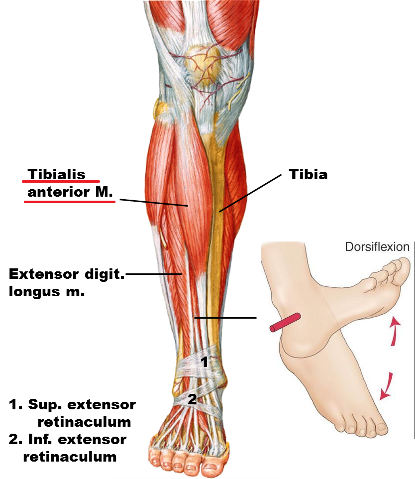 Tibialis Anteriororigin Insertion Action Nerve Supply How To