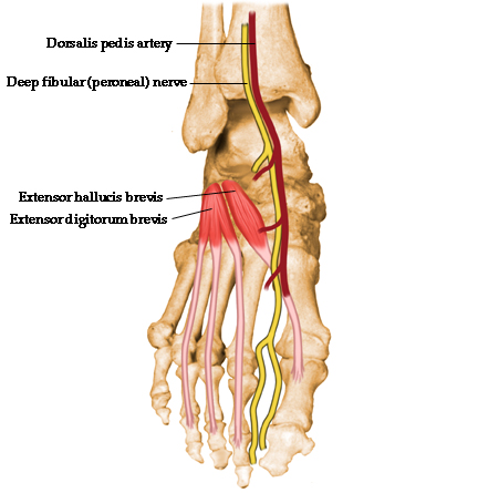 Extensor Hallucis Brevisorigin Insertion Action Nerve Supply
