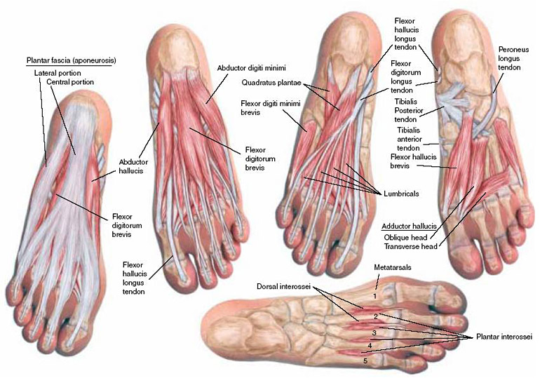 Plantar Aspect of the Foot