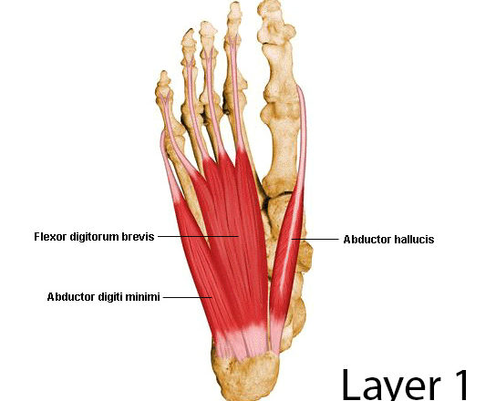 abductor hallucis muscle anatomy