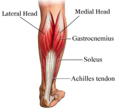Gastrocnemius:Origin, Insertion, Action & Nerve Supply » How To Relief
