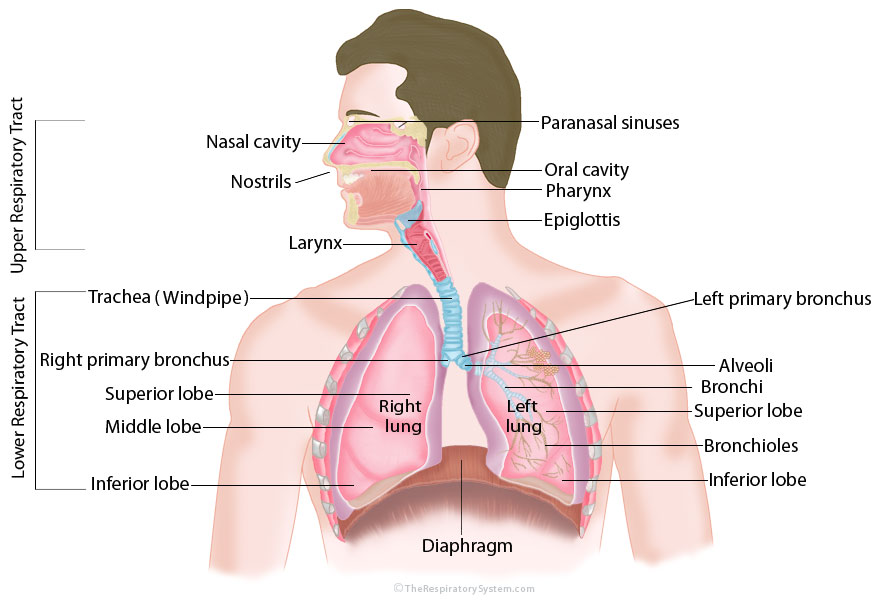 Respiratory Systemstructureparts Function How To Relief