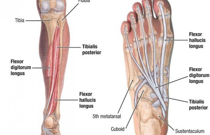 tibialis posterior muscle