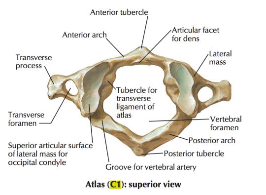 C1 spine