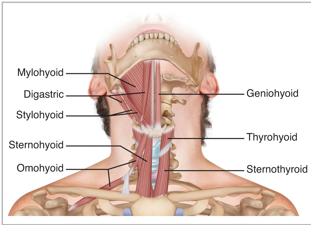 Geniohyoid muscle