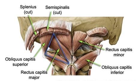 Obliquus Capitis Superior:Origin, Insertion, Action ... Obliquus Capitis Inferior