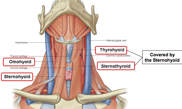 Sternohyoid Muscles