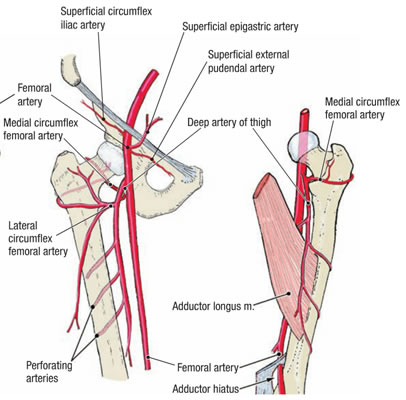 Femoral Artery Coursebranches Clinical Significance How To Relief
