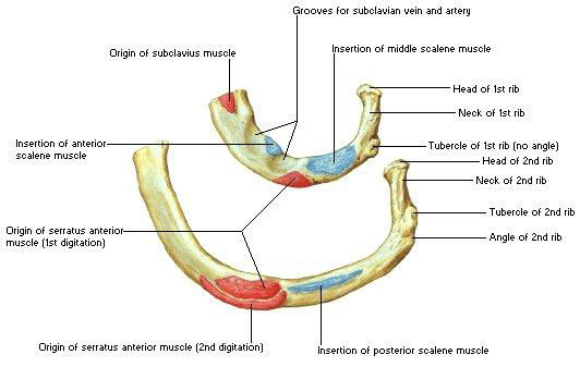 Ribs : Anatomy,Types,Ossification & Clinical Significance » How To ...