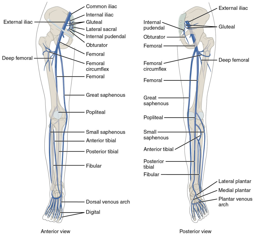 lower limb venous system