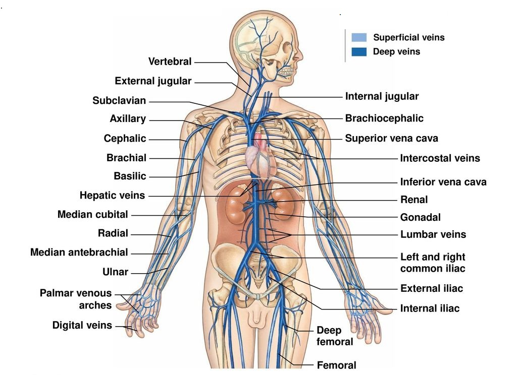 Veins Types Venous System Clinical Significance How To Relief