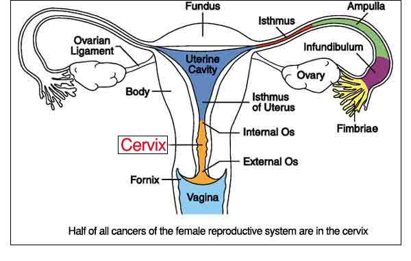 uterus anatomy